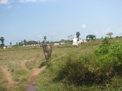 We just made it by in our three wheeler before the herd crossed the road on their migration to greener pastures.