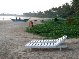 Cows and fishermen are never far on a Sri Lankan beach.