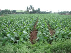 A field of tobacco.