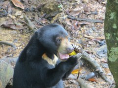 There was also a sun bear sanctuary right across the street from the orangutans. Here's Mary the sun bear enjoying some corn.