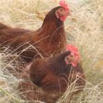 chickens_field