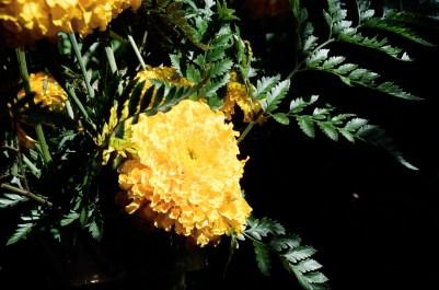 Yellow flower, Portra 160 (Flickr)