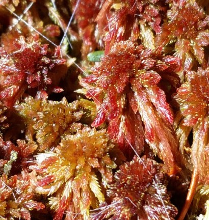 red peat moss