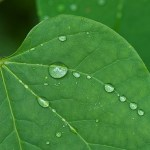 Raindrops on a bright green leaf