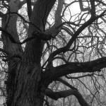 Hedge Apple Tree in Fog | Apple iPhone 4S @ 1/120 sec., ISO 64