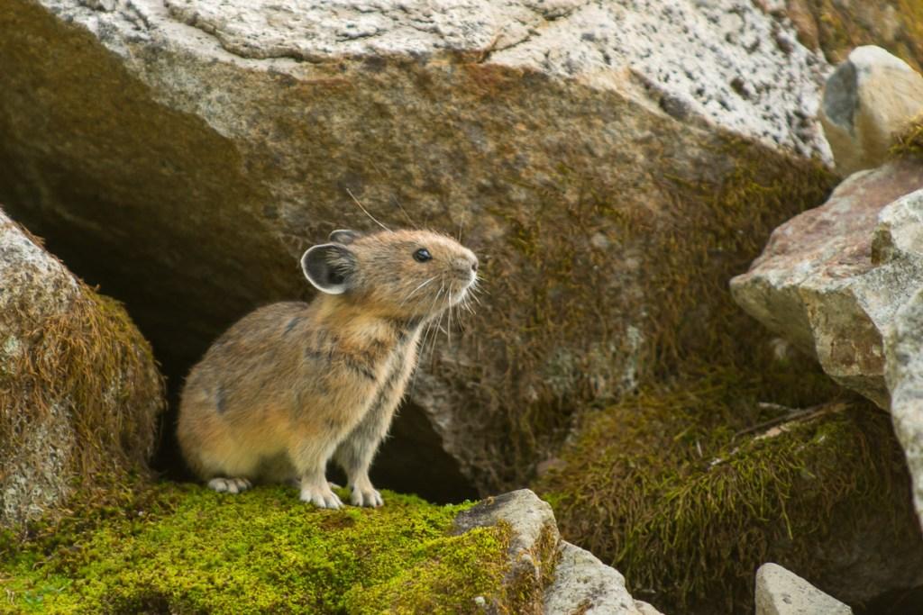 An American Pika surveys his surroundings, Pinnacle Peak Trail, Mount Rainier National Park