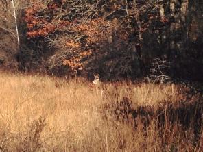 Deer Buck Minnesota Richardson Nature Center