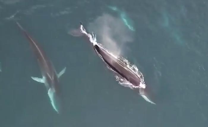 Finback Whales