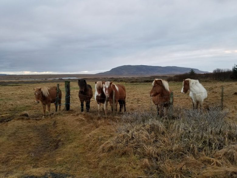 Icelandic Horses In Field