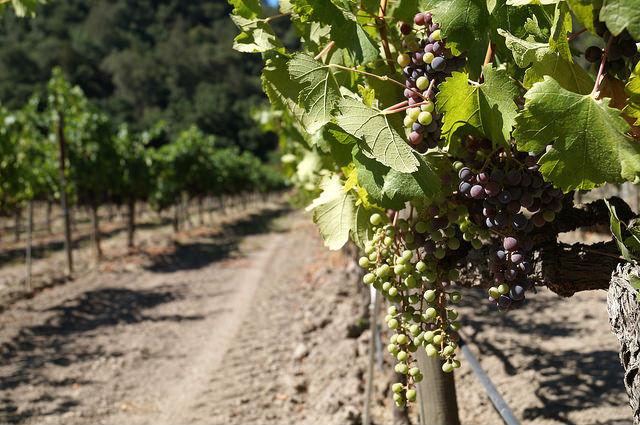 Napa Valley - Grapes growing at Casa Nuestra