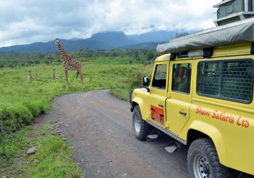 Giraffes on Safari in Tanzania
