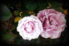 Roses at sherri
