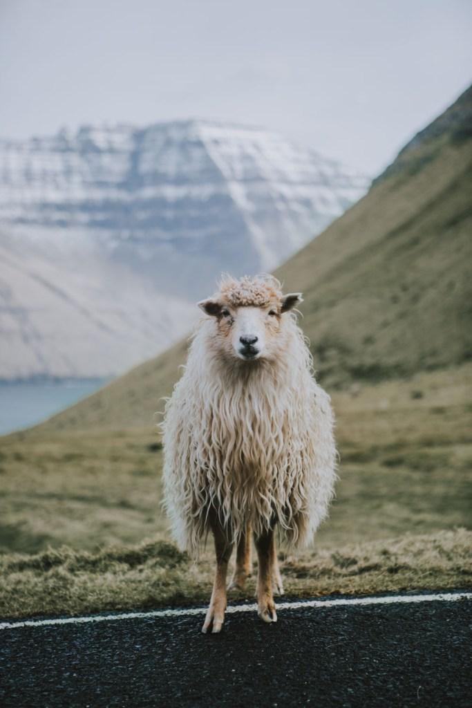 Mikladalur Sheep