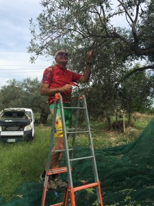 Reto busy doing the olive harvest