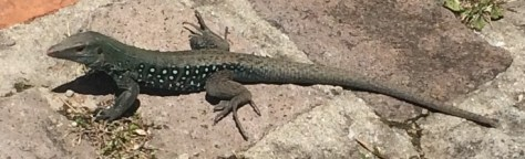 a lizard - on our hike up the cabrtis we see and hear thousands of them in all sizes