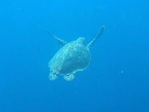 hier verfolge ich ein Schildkröte unter Wasser, uh-schön.