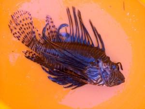 Reto's first self caught Lion fish