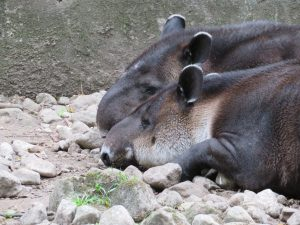 in the zoo El Nispero we see two lazy tapirs
