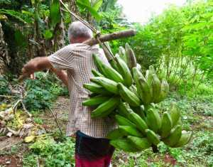 bunch of plantains