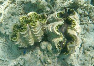 Giant Clam Likiep