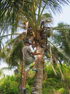 Coconut harvest in Sanding