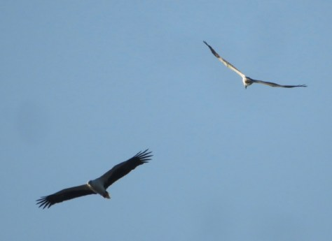 Two eagles circling on top of us