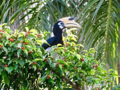 In der Rebak Marina bigt es zahlreiche Nashornvögel,