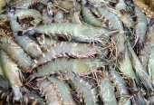 টাটকা চিংড়ি মাছ – Fresh Fish BD