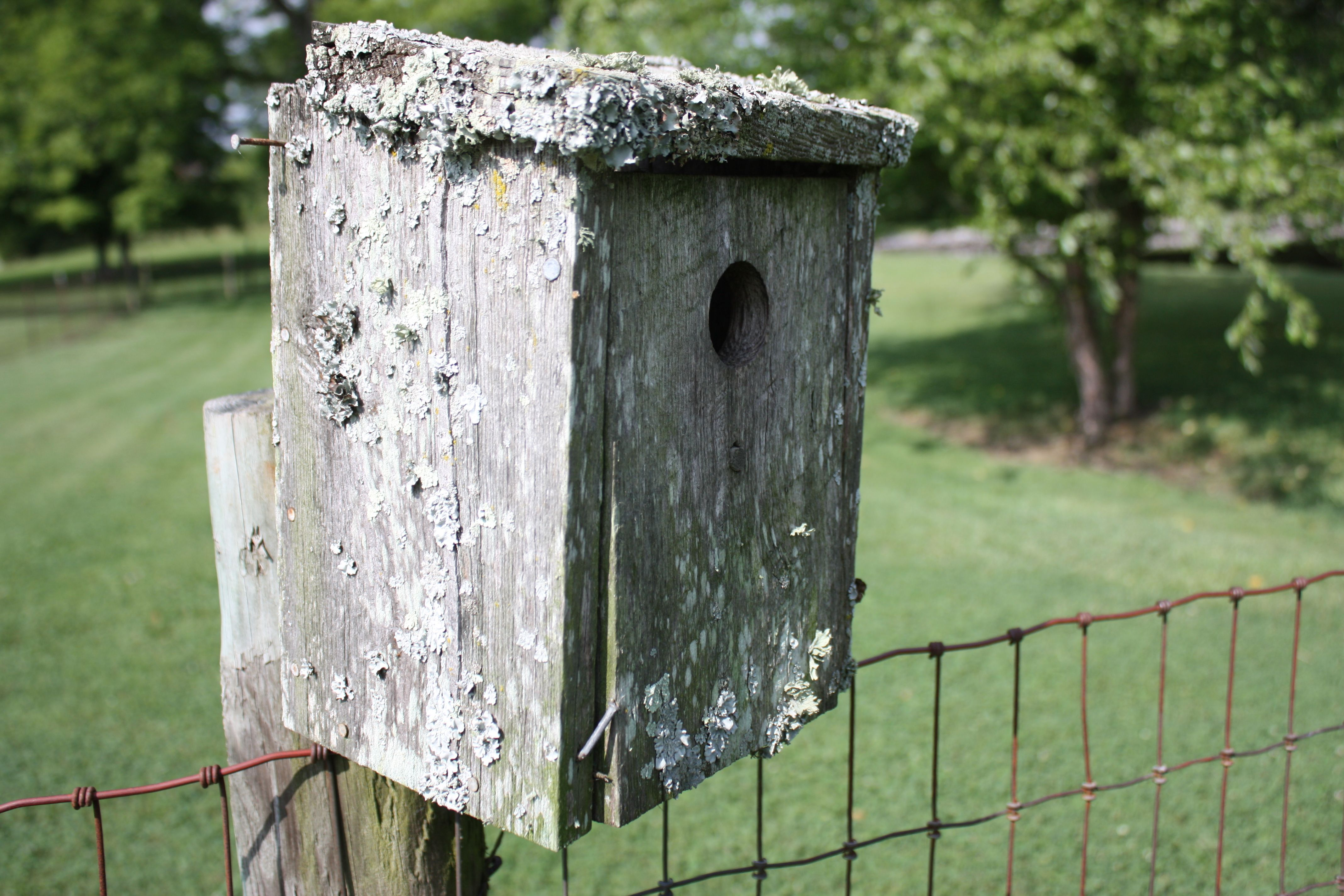 There is an old, lichen-covered bluebird house on our fencepost.  It is well-loved and has been home to many bluebird families over the years