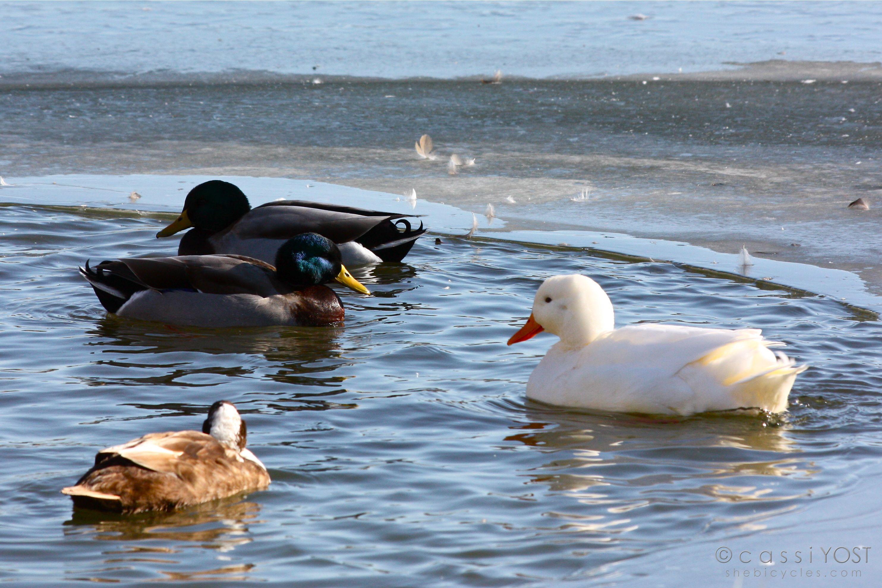 Shrinking wintertime real estate for the ducks.