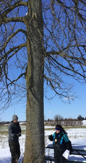 Volunteers measure the diameter at breast height of an ash tree in the Town of Holland