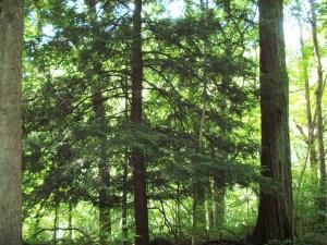 The lone pine tree