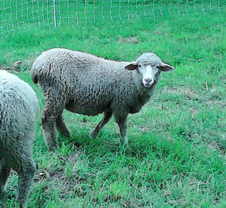 Martha, a ewe lamb I purchased in July in Pennsylvania at Wooly Acres: woolyacres.wordpress.com/