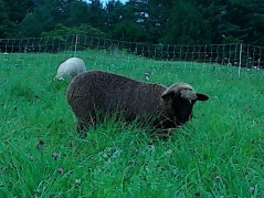Esther, my pretty black 2013 ewe lamb out of Peggy, twin to Ida. Esther has avg 27 micron wool with improved consistency.