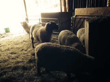 The ewes shelter from the cold.