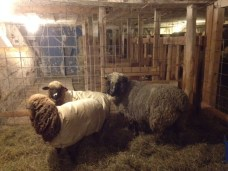 Cinder the Ram, Timberdoodle and Bobolink, spending the winter together.
