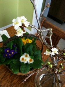 forced blossoms and primroses