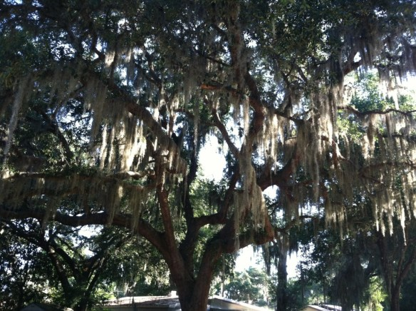 A Florida live oak draped in Spanish moss