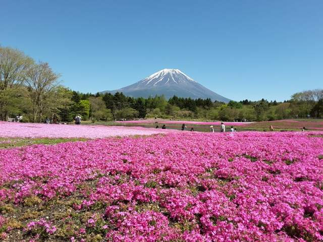 japanbudgettrip-pakej-murah-tokyo-Mount-Fuji-and-Shibazakura