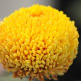 Chrysanthemum-025
