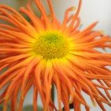 Chrysanthemum-032