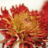 Chrysanthemum-036