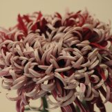 Chrysanthemum-042