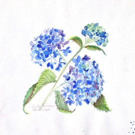 "Blue Hydrangeas, watercolor, 8"" x 8"""