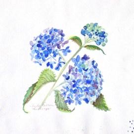 """Blue Hydrangeas, watercolor, 8"""" x 8"""""""
