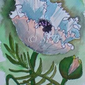 "White Poppy, watercolor + ink, 5"" x 7"""
