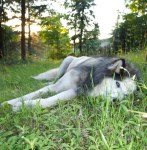 image of dog lying in the grass