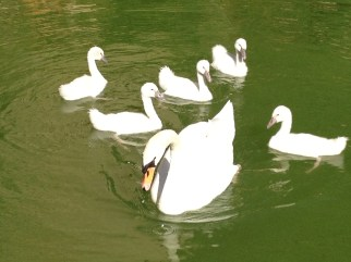Swans of Palma Copyright Shelagh Donnellly