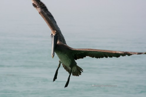 Florida Keys Flier 3095 Copyright Shelagh Donnelly