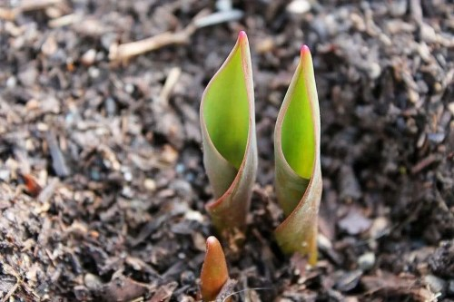 tulip bulbs emerging from the ground